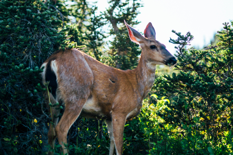 Closeup of Deer, Attracted by Food Scent
